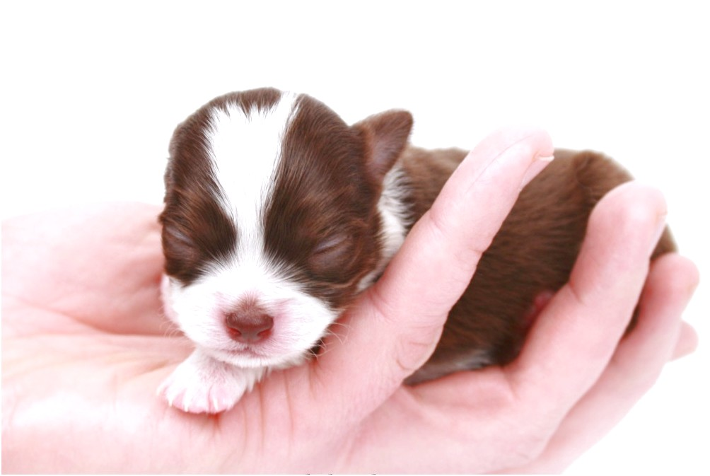 applehead chihuahua puppies for sale canada