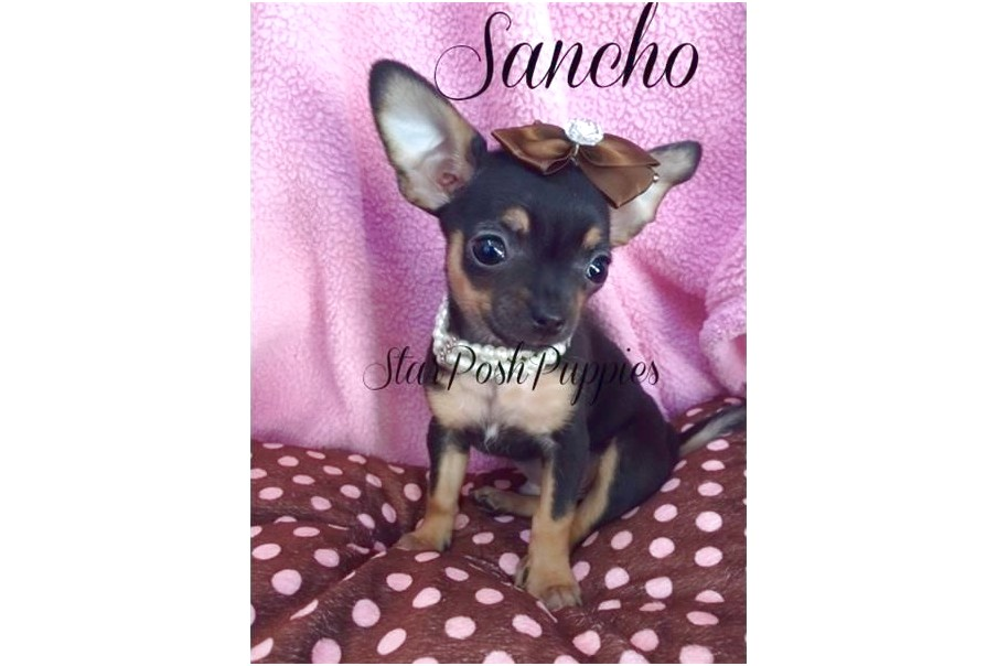 applehead chihuahua puppies for sale in arizona