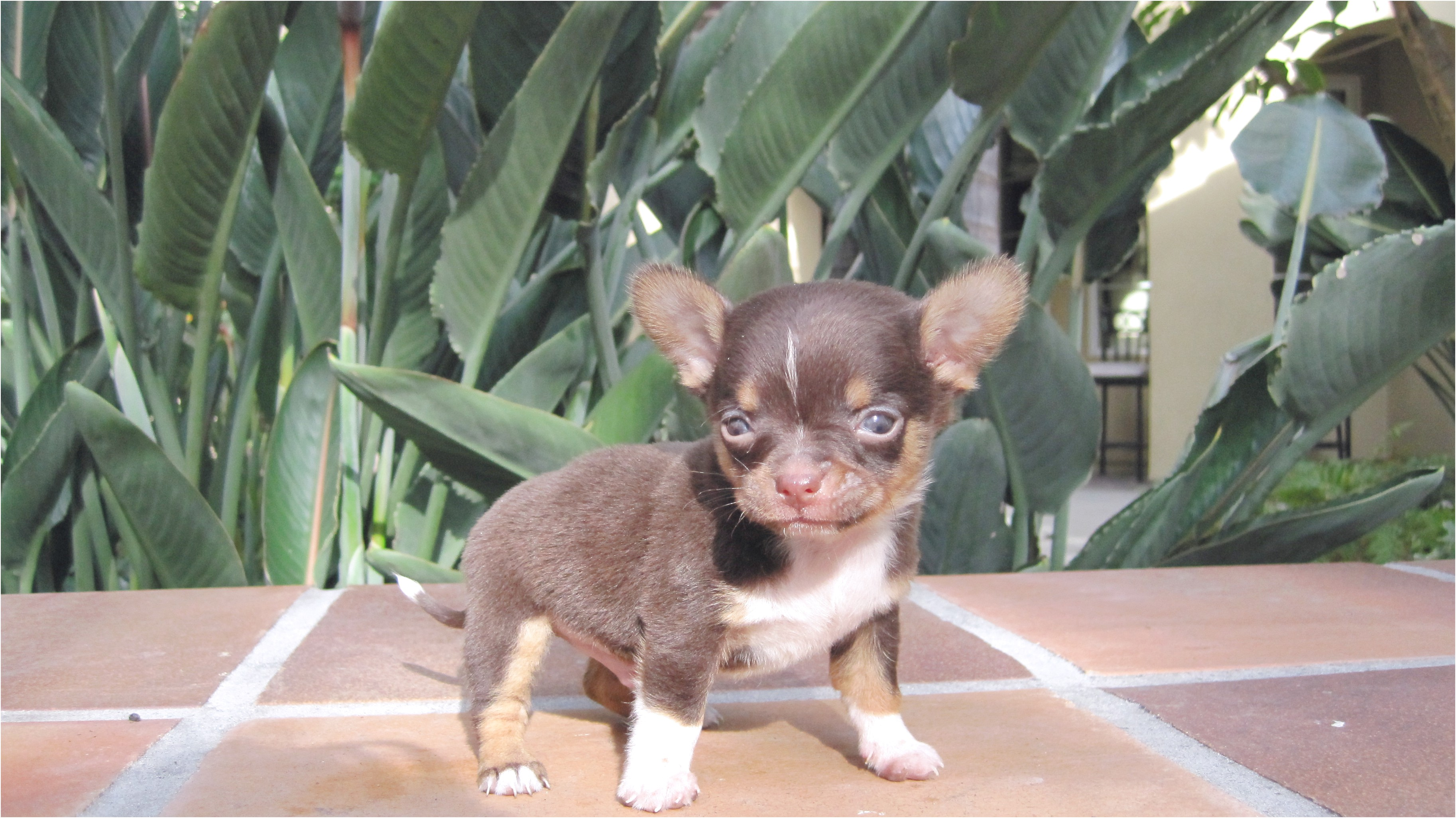 applehead chihuahua puppies for sale in ga