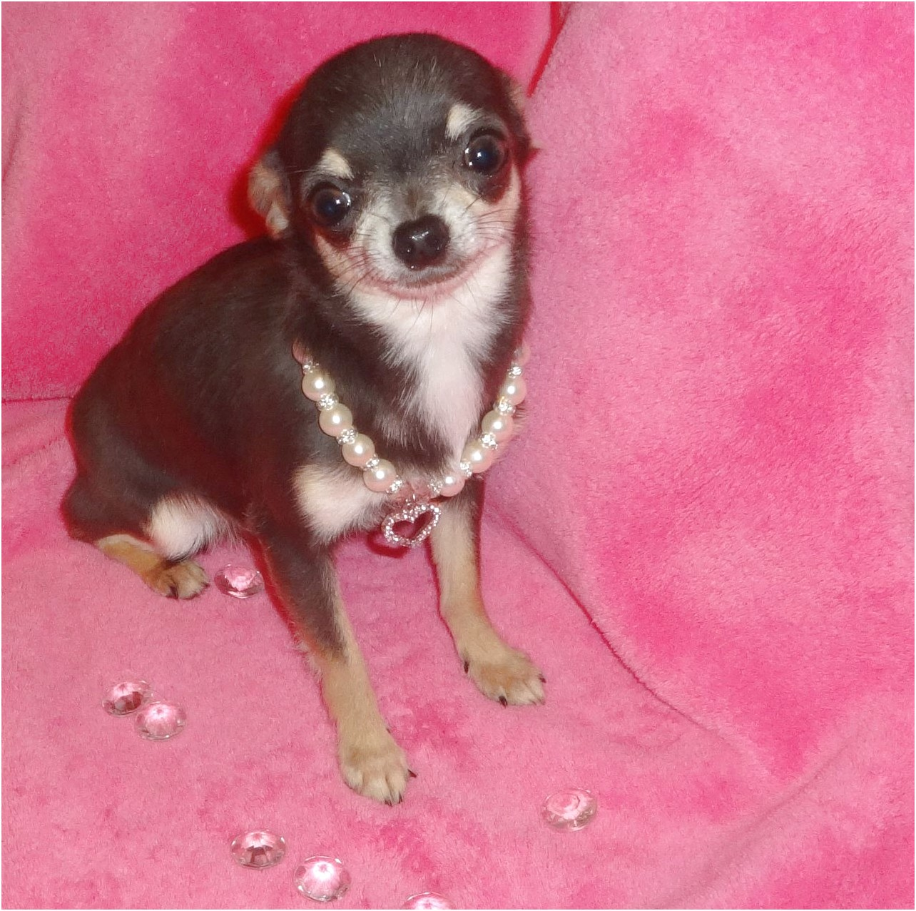 applehead chihuahua puppies for sale in georgia