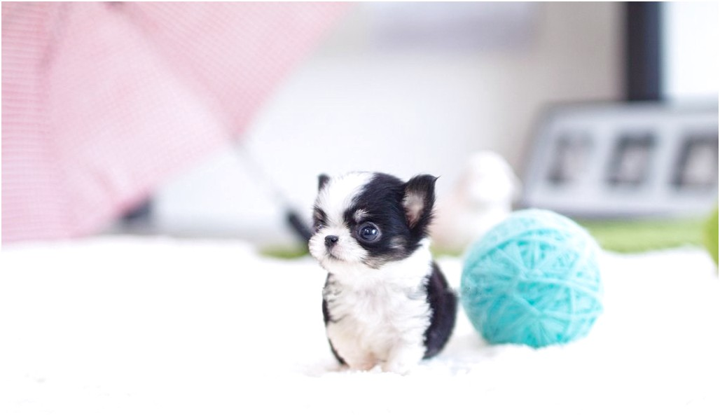 applehead chihuahua puppies for sale in ky