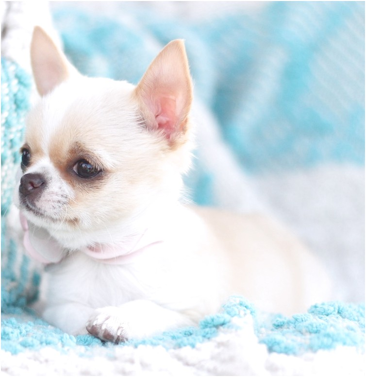 applehead chihuahua puppies for sale in los angeles