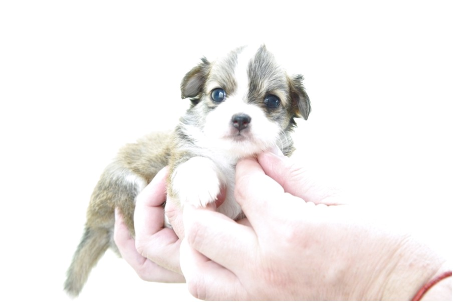 applehead chihuahua puppies for sale in massachusetts