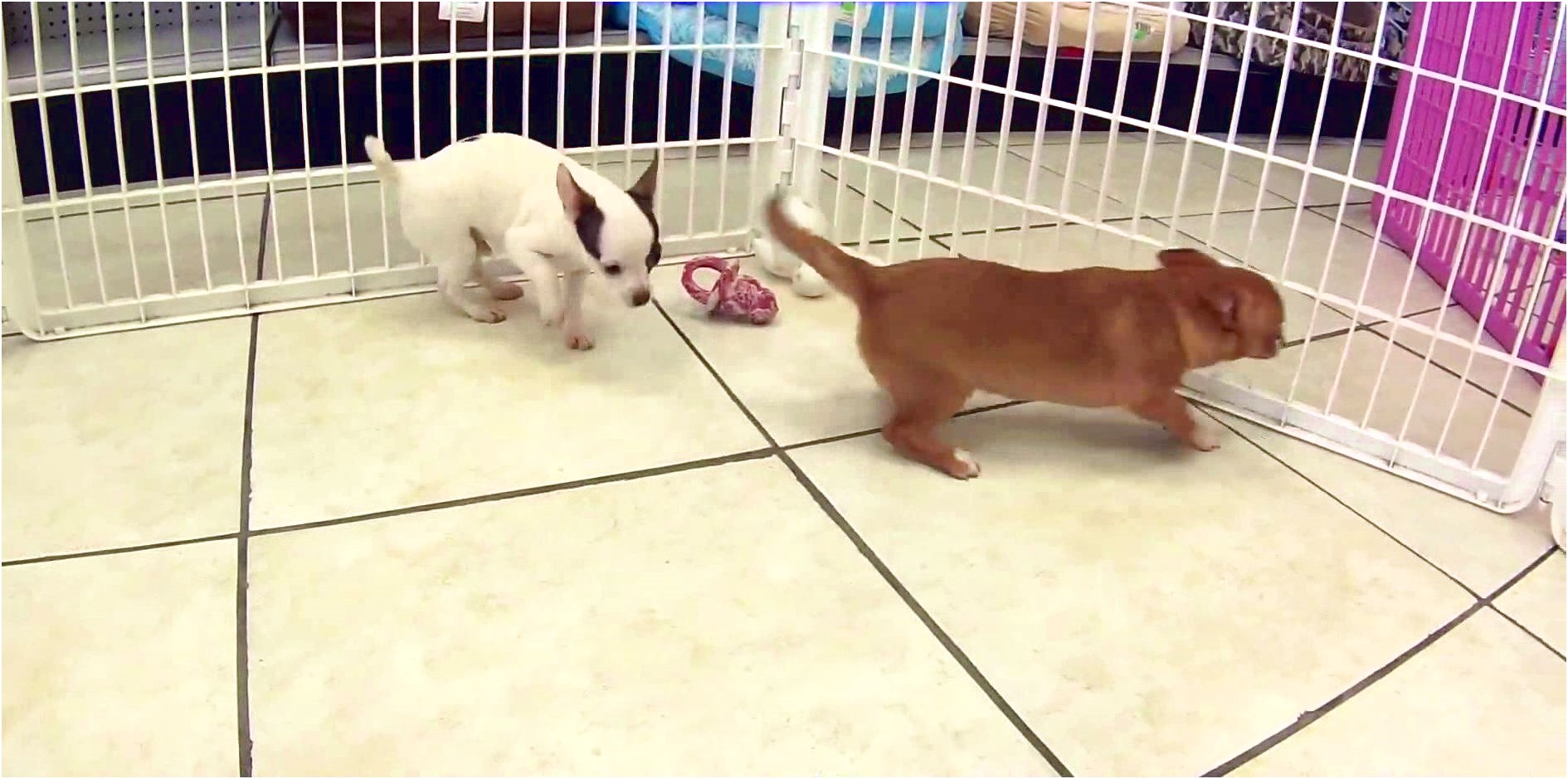 applehead chihuahua puppies for sale in minnesota