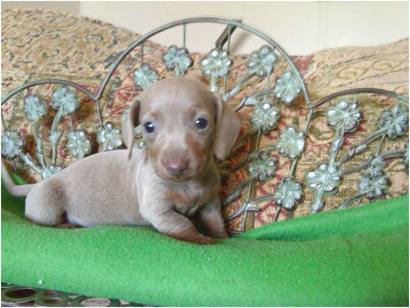 applehead chihuahua puppies for sale in mississippi