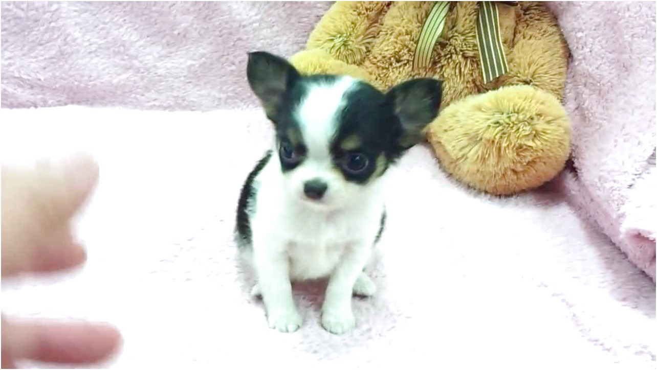 applehead chihuahua puppies for sale in ohio