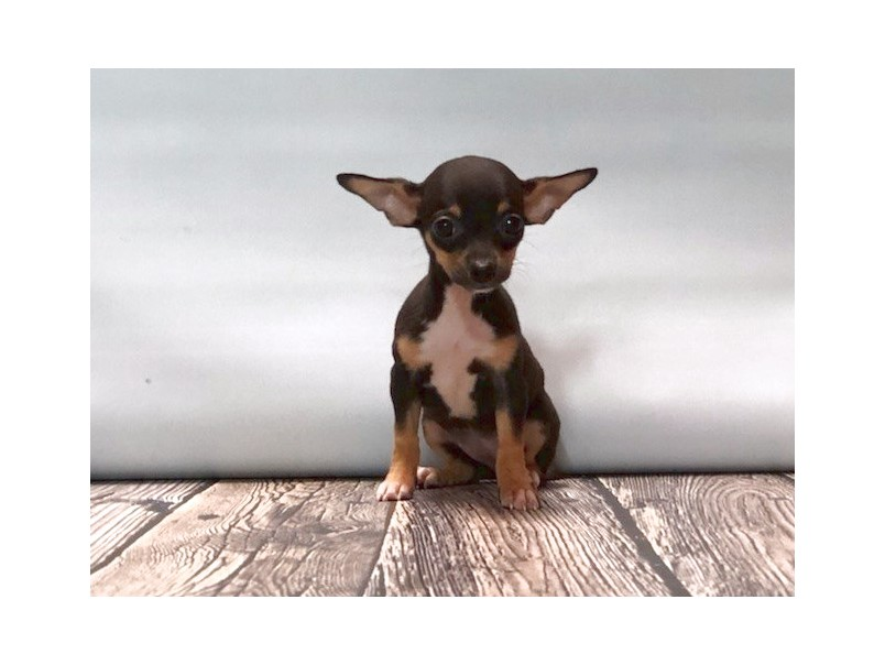 applehead chihuahua puppies for sale in tn