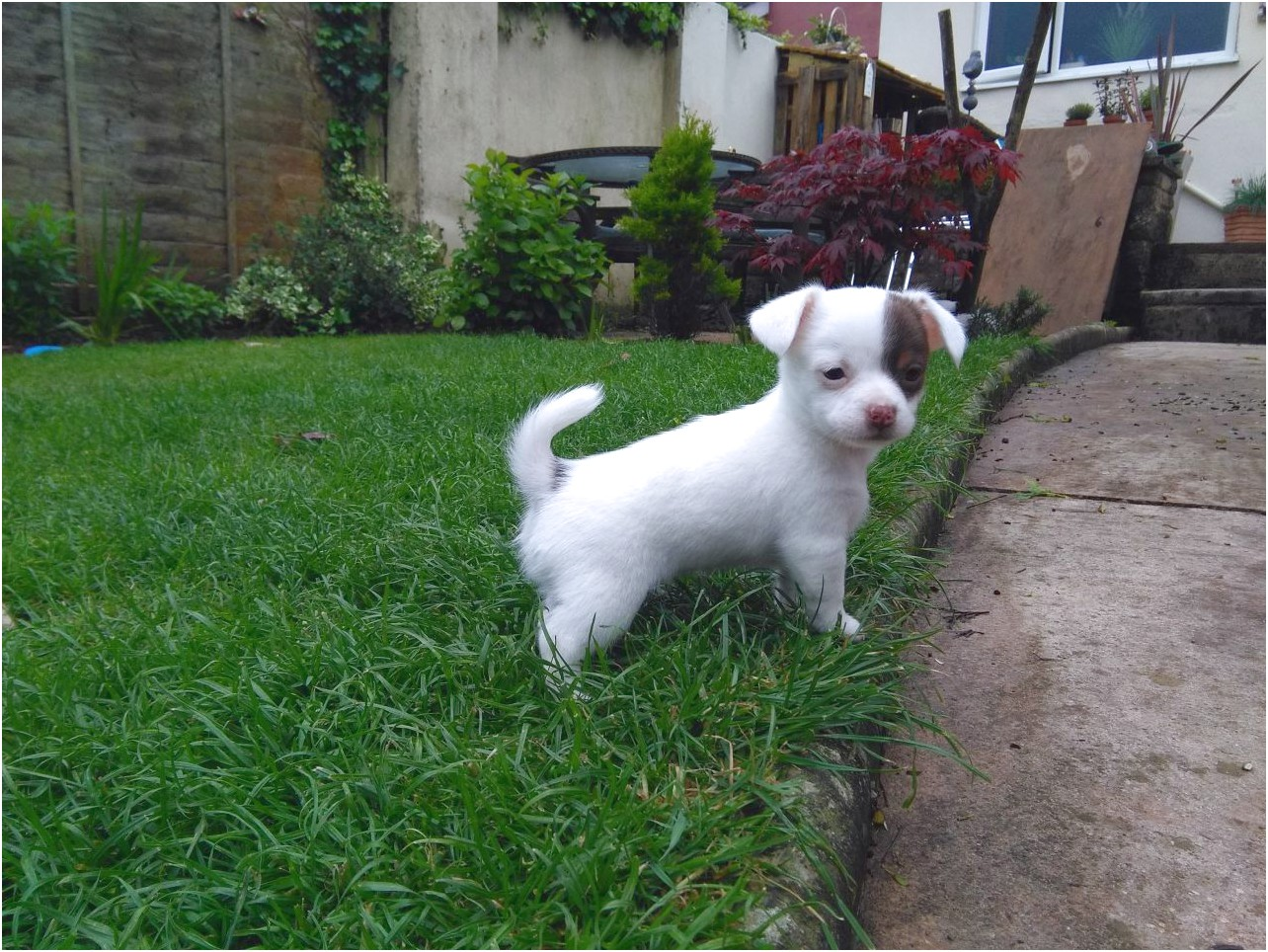 applehead chihuahua puppies for sale in uk