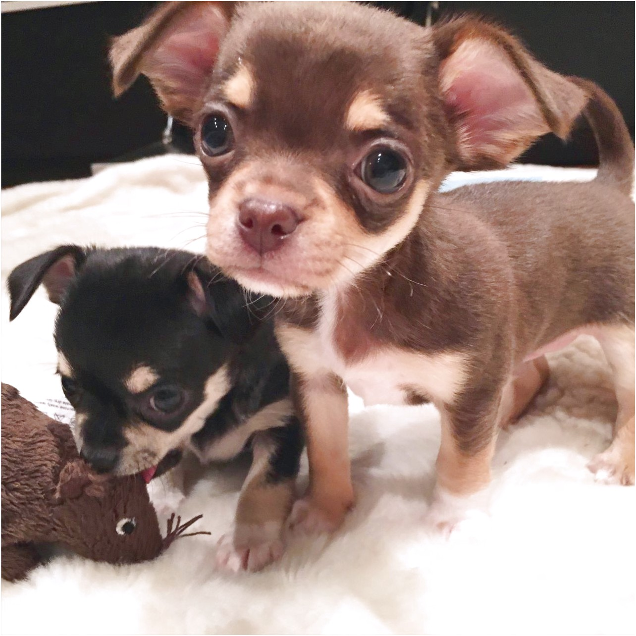 applehead chihuahua puppies for sale