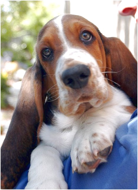 basset beagle puppies for sale in michigan