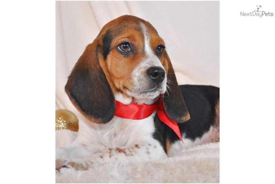 beagle adoption price