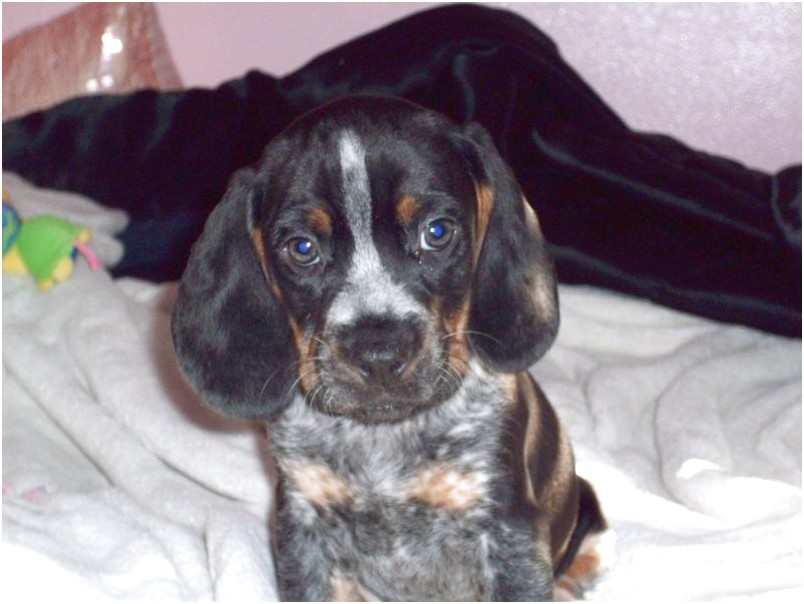 beagle bluetick puppies for sale in michigan