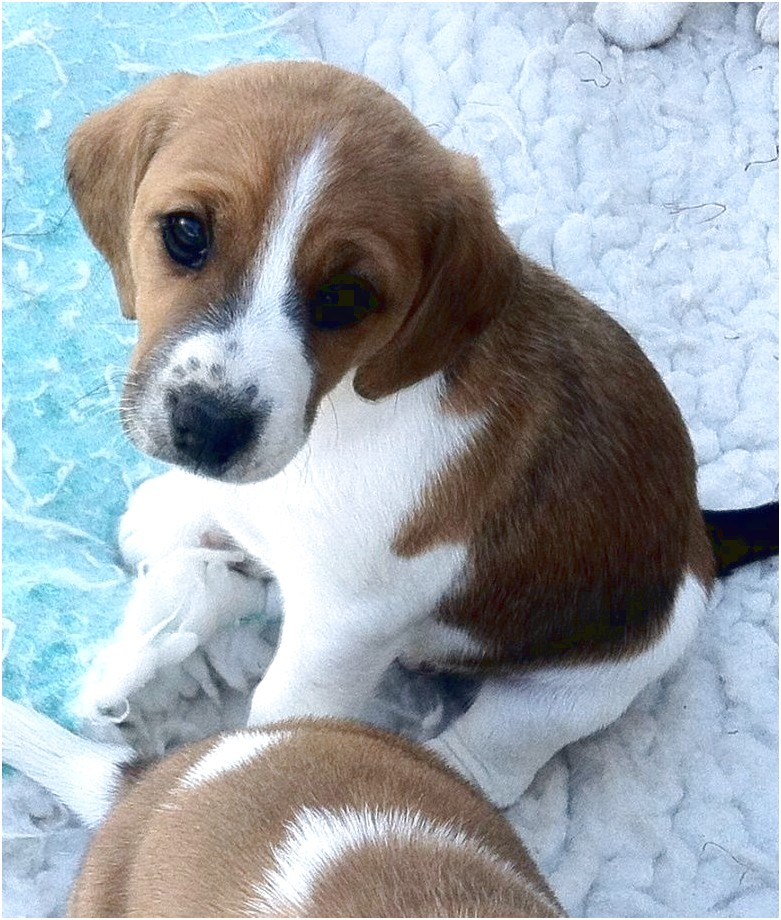 beagle cross puppies for sale near me