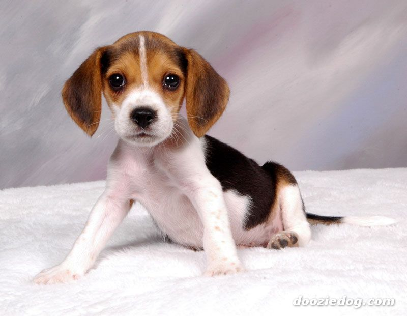 beagle dogs for sale in nc