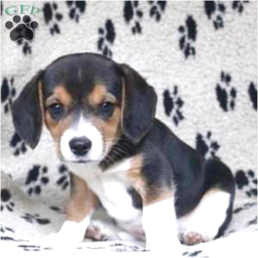 beagle dogs for sale in pa