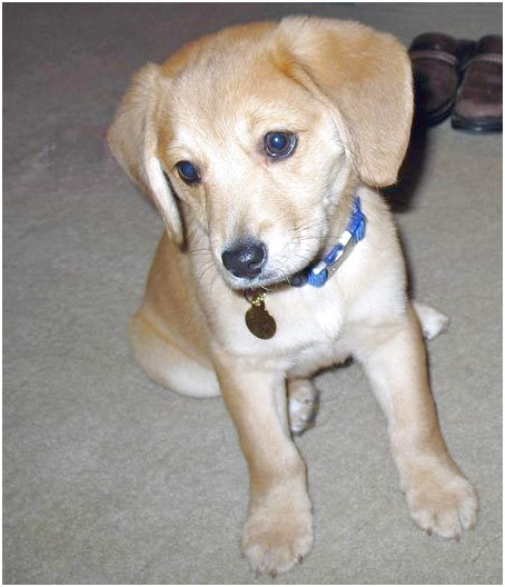 beagle lab mix puppies for sale in ohio
