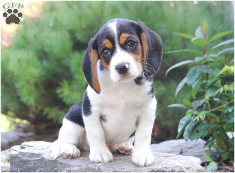 beagle mix for sale in pa