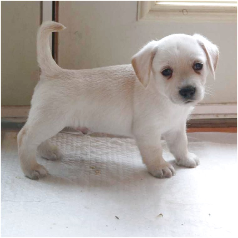 beagle mix puppies for sale in michigan