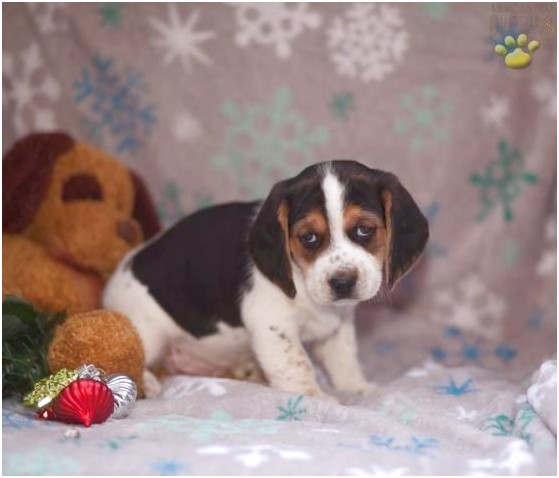 beagle puppies for sale allenwood pa
