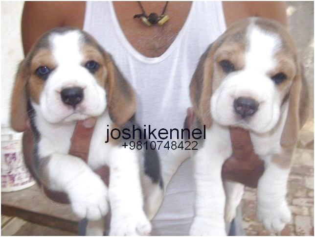 beagle puppies for sale in berks county pa