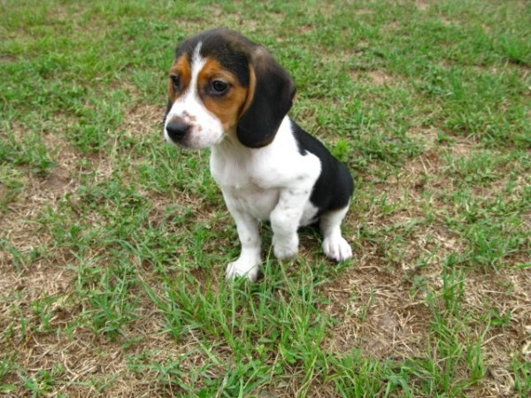 beagle puppies for sale in concord nc