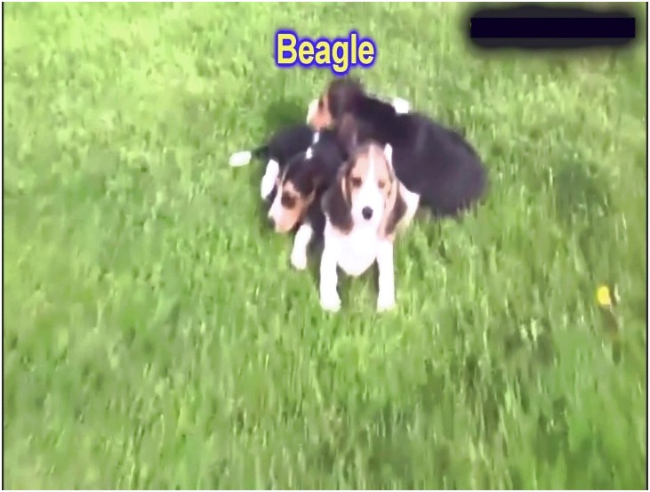 beagle puppies for sale in erie pa
