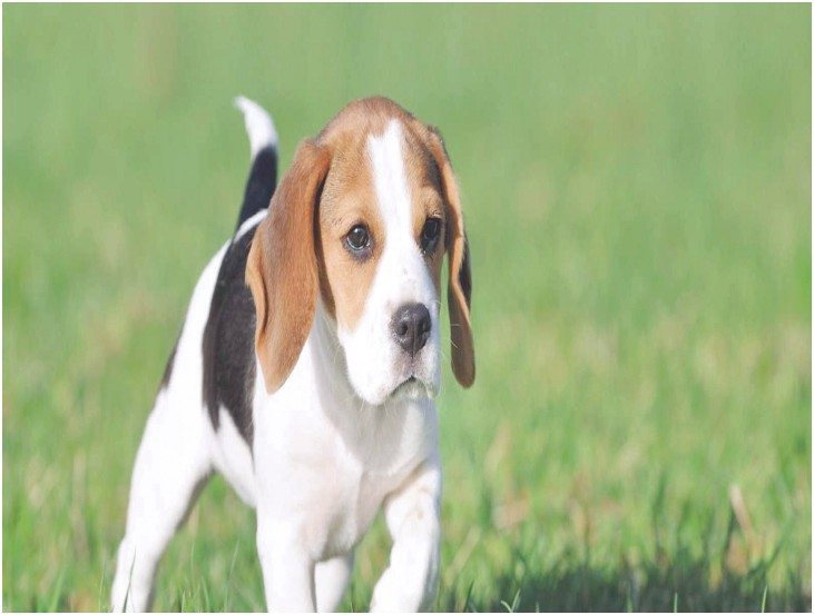 beagle puppies for sale in flint michigan