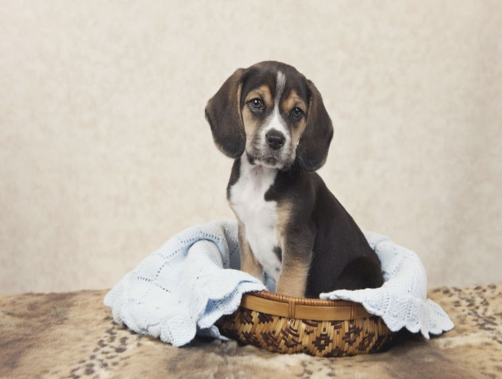 Beagle Puppies For Sale In Gastonia Nc