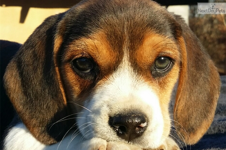 Beagle Puppies For Sale In Hickory Nc