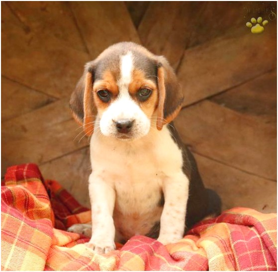 beagle puppies for sale in indiana pa