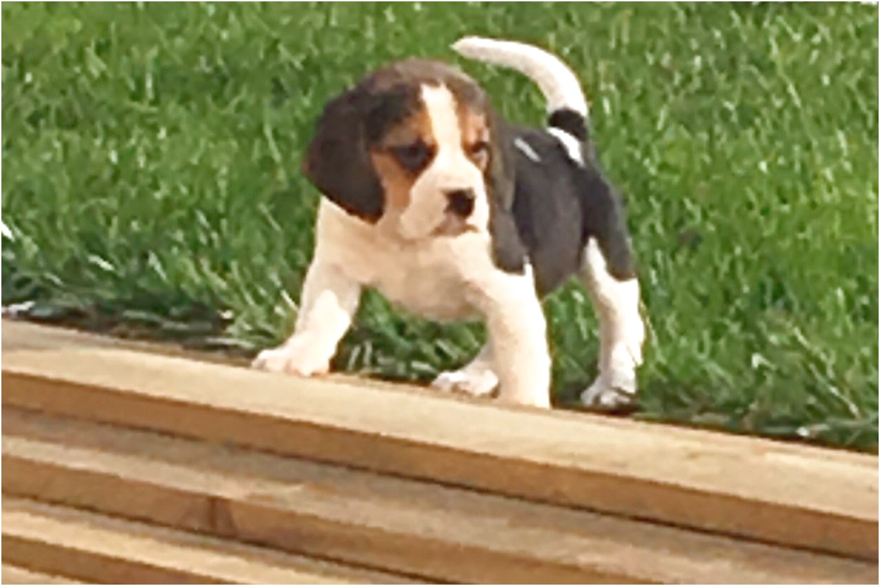 beagle puppies for sale in lake county ohio