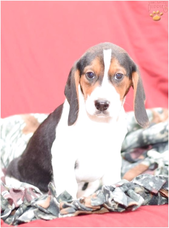 beagle puppies for sale in lancaster county pa