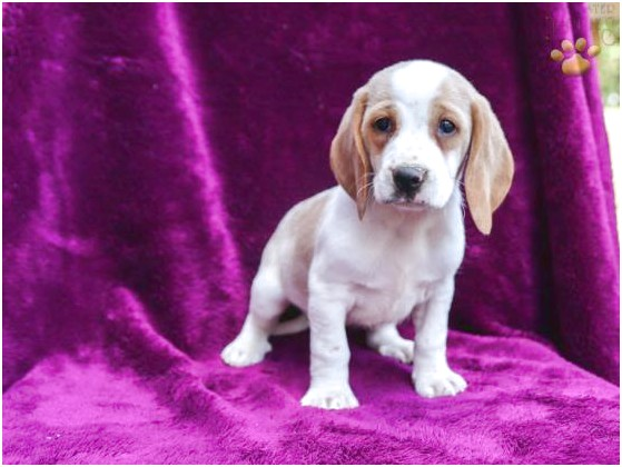 beagle puppies for sale in lebanon pa