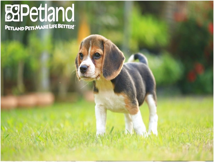 beagle puppies for sale in lehigh valley pa