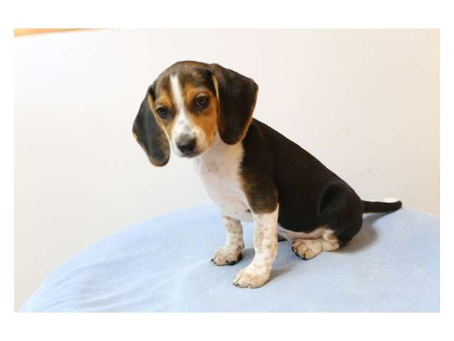 beagle puppies for sale in los angeles california