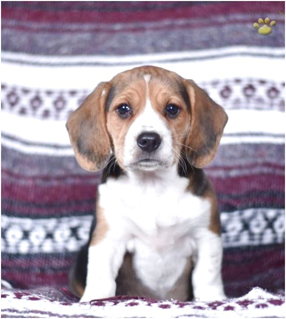 beagle puppies for sale in millersburg ohio