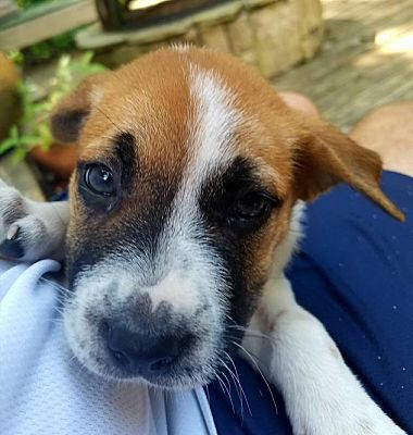 Beagle Puppies For Sale In Nc Charlotte
