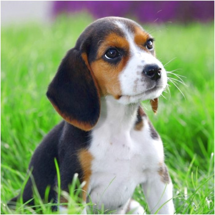 beagle puppies for sale in northern michigan