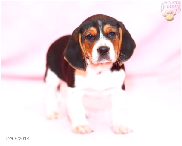 beagle puppies for sale in pa cheap