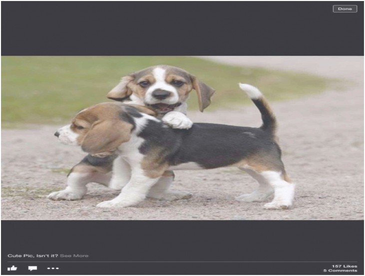 beagle puppies for sale in pa craigslist