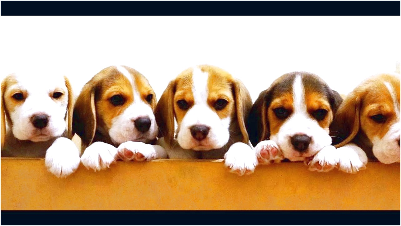 beagle puppies for sale in western nc