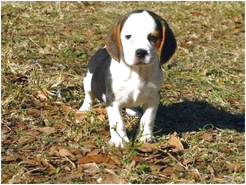 beagle puppies for sale near denver co
