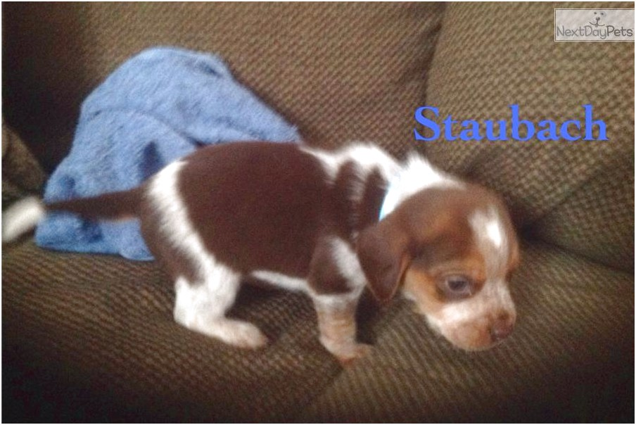 Beagle Puppies For Sale Near Erie Pa