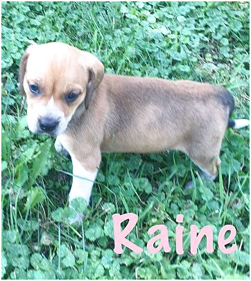 beagle puppies for sale near fort wayne indiana