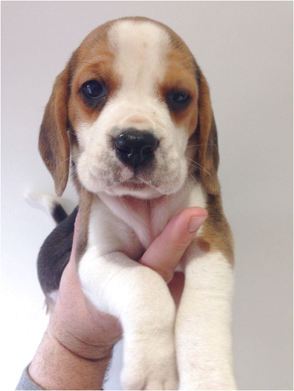 beagle puppies for sale near leicester