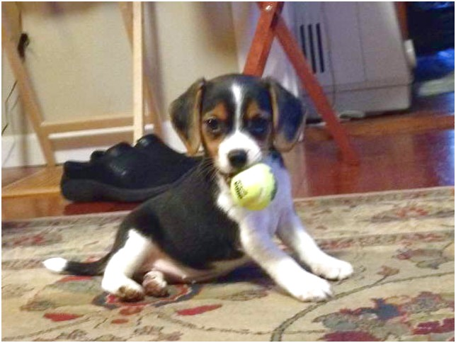 beagle puppies for sale near portland oregon