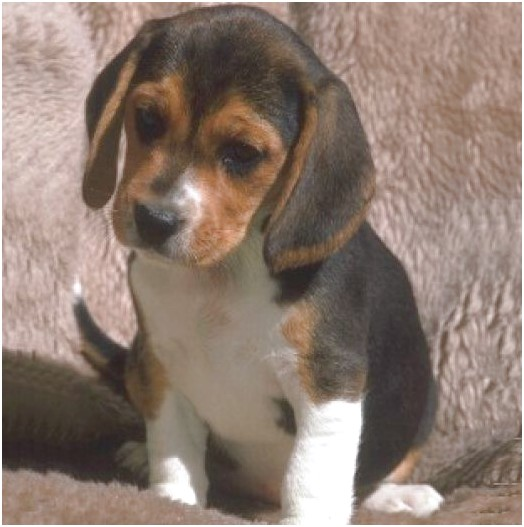 beagles for adoption ca
