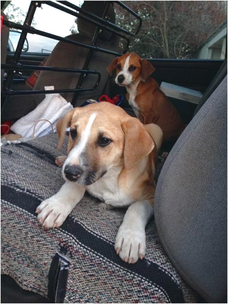 beagles for adoption in rhode island