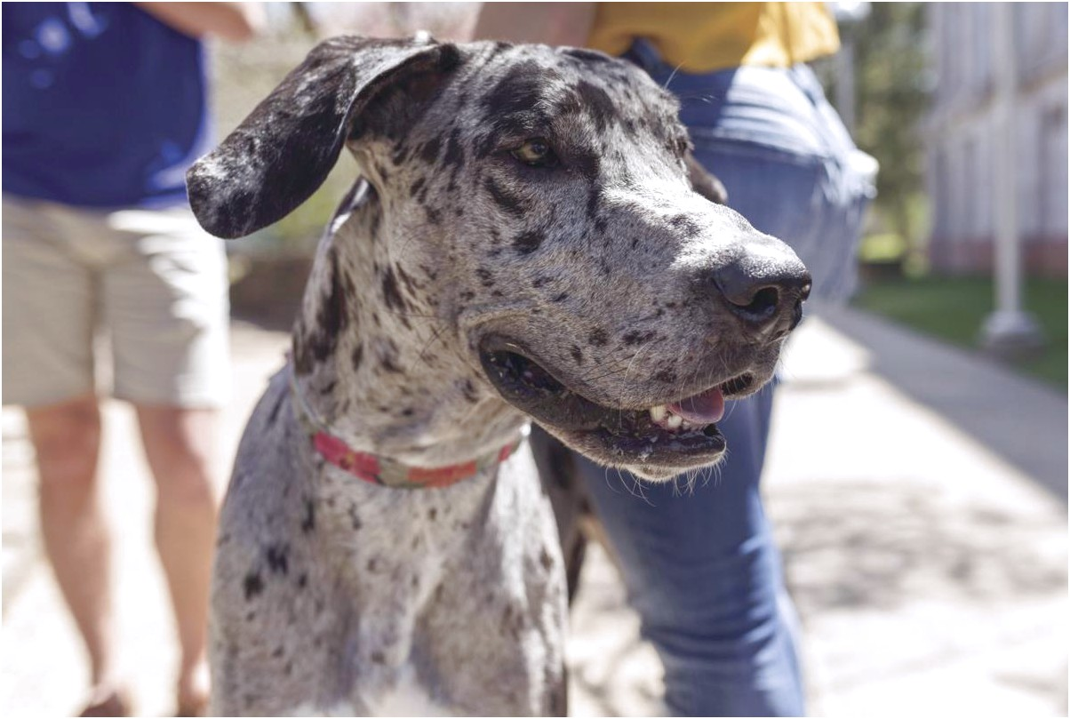 best dog food for 1 year old great dane