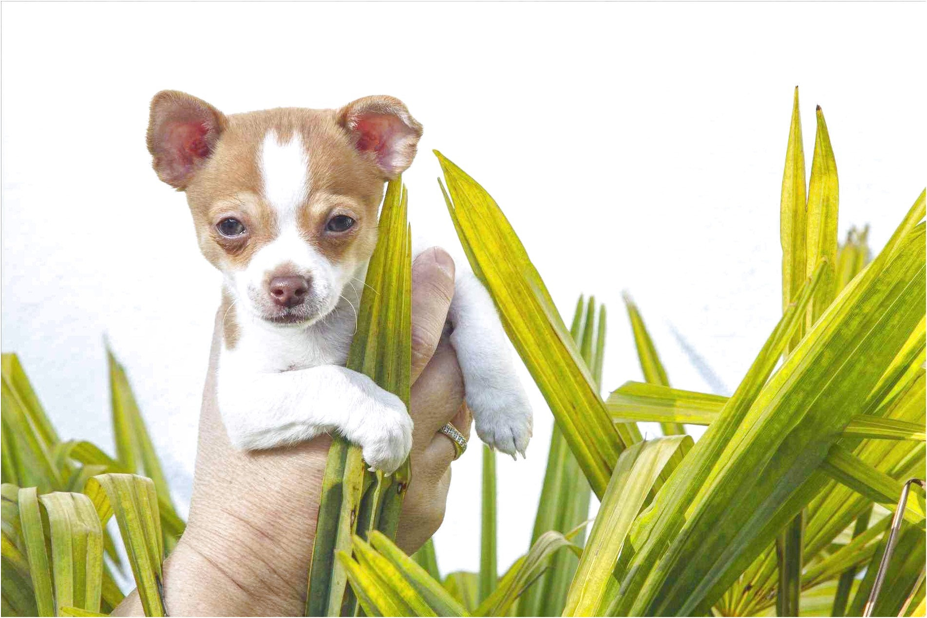 best dog food for chihuahua puppies